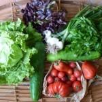 Concombres, oignons blancs, tomates, et salades