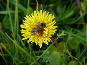 les abeilles et la fleur de pissenlit