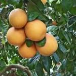 pomelos dans l'arbre