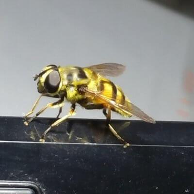 Bees …et miel chez Papae